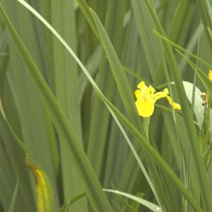 Photographie n°13174 du taxon Iris pseudacorus L. [1753]