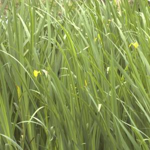 Photographie n°13175 du taxon Iris pseudacorus L.