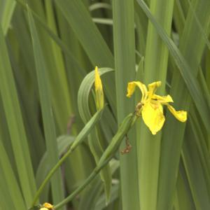 Photographie n°13176 du taxon Iris pseudacorus L.