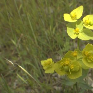 Photographie n°13201 du taxon Euphorbia serrata L. [1753]