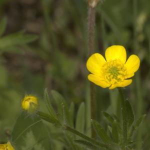Photographie n°13227 du taxon Ranunculus bulbosus L. [1753]