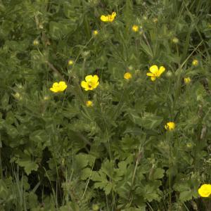 Photographie n°13229 du taxon Ranunculus bulbosus L. [1753]
