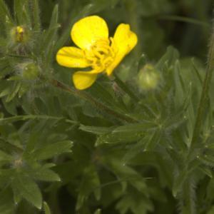 Photographie n°13230 du taxon Ranunculus bulbosus L. [1753]