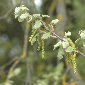 Photographie n°13250 du taxon Quercus pubescens Willd. [1805]