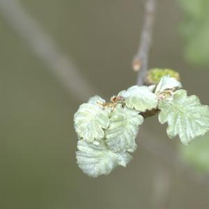 Photographie n°13251 du taxon Quercus pubescens Willd. [1805]
