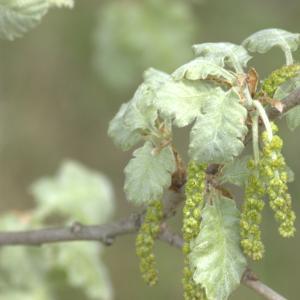 Photographie n°13252 du taxon Quercus pubescens Willd. [1805]