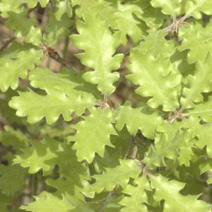 Photographie n°13254 du taxon Quercus pubescens Willd. [1805]