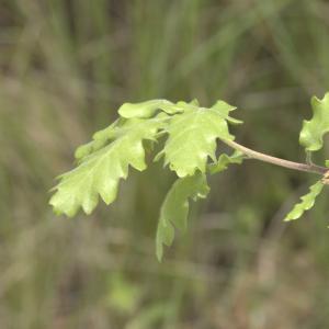 Photographie n°13255 du taxon Quercus pubescens Willd. [1805]