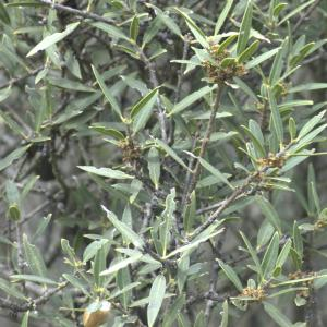 Photographie n°13285 du taxon Phillyrea angustifolia L. [1753]