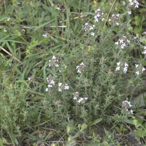 Photographie n°13286 du taxon Thymus vulgaris L.