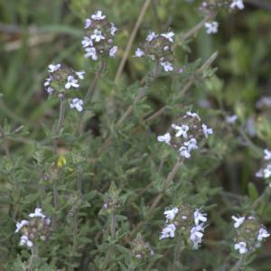 Photographie n°13287 du taxon Thymus vulgaris L.