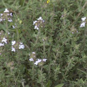 Photographie n°13288 du taxon Thymus vulgaris L.