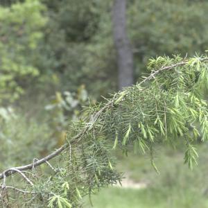 Photographie n°13302 du taxon Juniperus oxycedrus L.