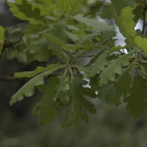 Photographie n°13304 du taxon Quercus pubescens Willd. [1805]
