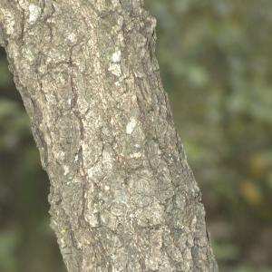 Photographie n°13305 du taxon Quercus pubescens Willd. [1805]
