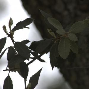 Photographie n°13308 du taxon Quercus ilex L. [1753]