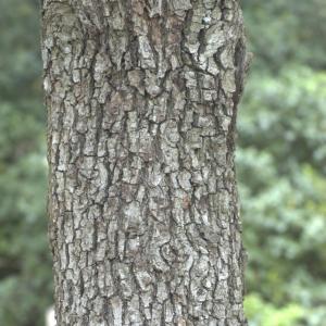 Photographie n°13309 du taxon Quercus ilex L. [1753]