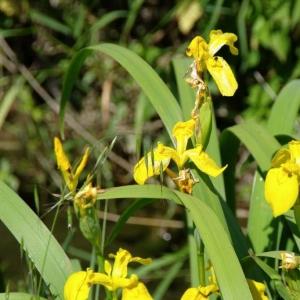Photographie n°13355 du taxon Iris pseudacorus L. [1753]