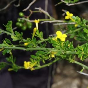 Photographie n°13359 du taxon Jasminum fruticans L.