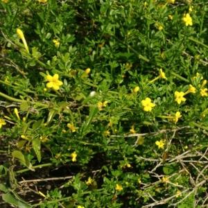Photographie n°13360 du taxon Jasminum fruticans L. [1753]