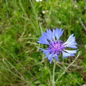 Photographie n°13393 du taxon Centaurea cyanus L.