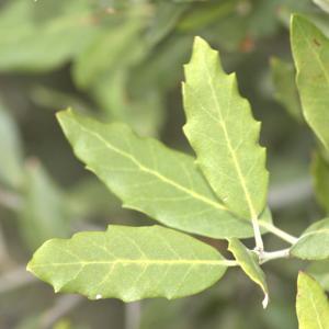 Photographie n°13466 du taxon Quercus ilex L. [1753]