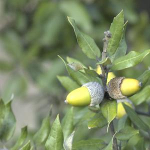 Photographie n°13469 du taxon Quercus ilex L. [1753]