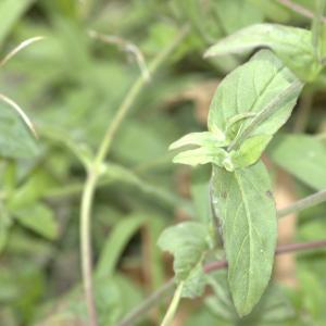 Photographie n°13481 du taxon Epilobium hirsutum L. [1753]