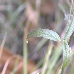 Photographie n°13486 du taxon Bituminaria bituminosa (L.) C.H.Stirt.