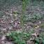 - Platanthera bifolia (L.) Rich.