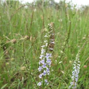 Photographie n°13692 du taxon Anarrhinum bellidifolium (L.) Willd.