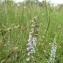 Mireille DEFOSSE - Anarrhinum bellidifolium (L.) Willd. [1800]