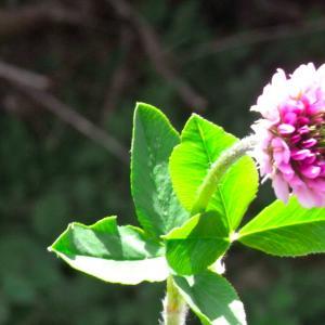 Photographie n°13750 du taxon Trifolium montanum L.