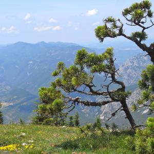 Photographie n°13757 du taxon Pinus uncinata Ramond ex DC.