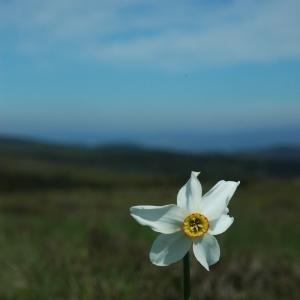 Photographie n°13764 du taxon Narcissus poeticus subsp. poeticus