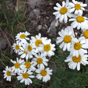Photographie n°13768 du taxon Chrysanthemum corymbiferum L. [1763]