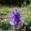 Raymond HALLOT - Campanula spicata L.