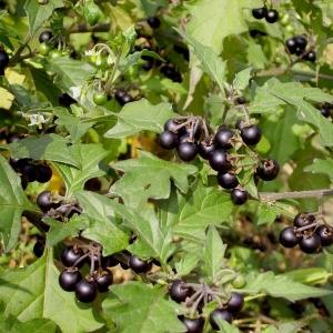 Photographie n°14001 du taxon Solanum nigrum L.