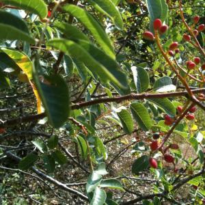 Photographie n°14038 du taxon Pistacia terebinthus L.