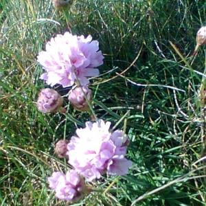 Photographie n°14041 du taxon Armeria maritima Willd.