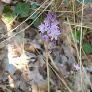 Photographie n°14042 du taxon Scilla autumnalis L.