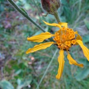 Photographie n°14071 du taxon Arnica montana L.