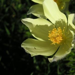 Photographie n°14082 du taxon Pulsatilla alpina subsp. apiifolia (Scop.) Nyman [1878]