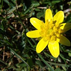 Photographie n°14091 du taxon Ranunculus ficaria L.