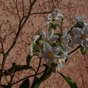 Solanum bonariense L. (Morelle de Buenos Aires)