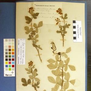 Photographie n°14151 du taxon Rubus canescens DC.