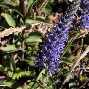 Photographie n°14167 du taxon Veronica spicata L.