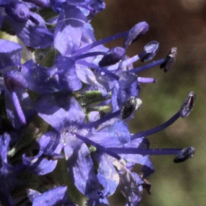 Photographie n°14168 du taxon Veronica spicata L.