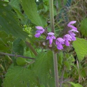 - Ballota nigra subsp. nigra