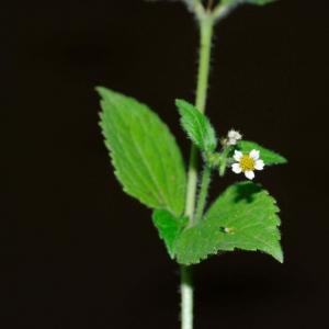 Photographie n°14207 du taxon Galinsoga quadriradiata Ruiz & Pav. [1798]